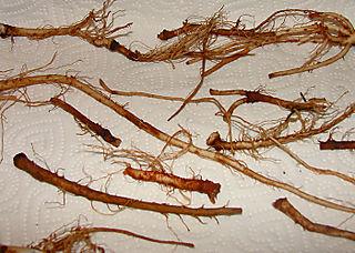 Dandelion-roots