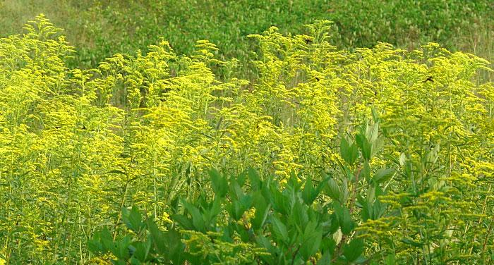 Goldenrod-patch